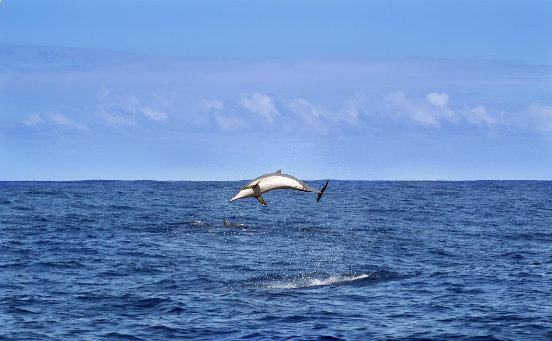 Dolphins near La Reunion