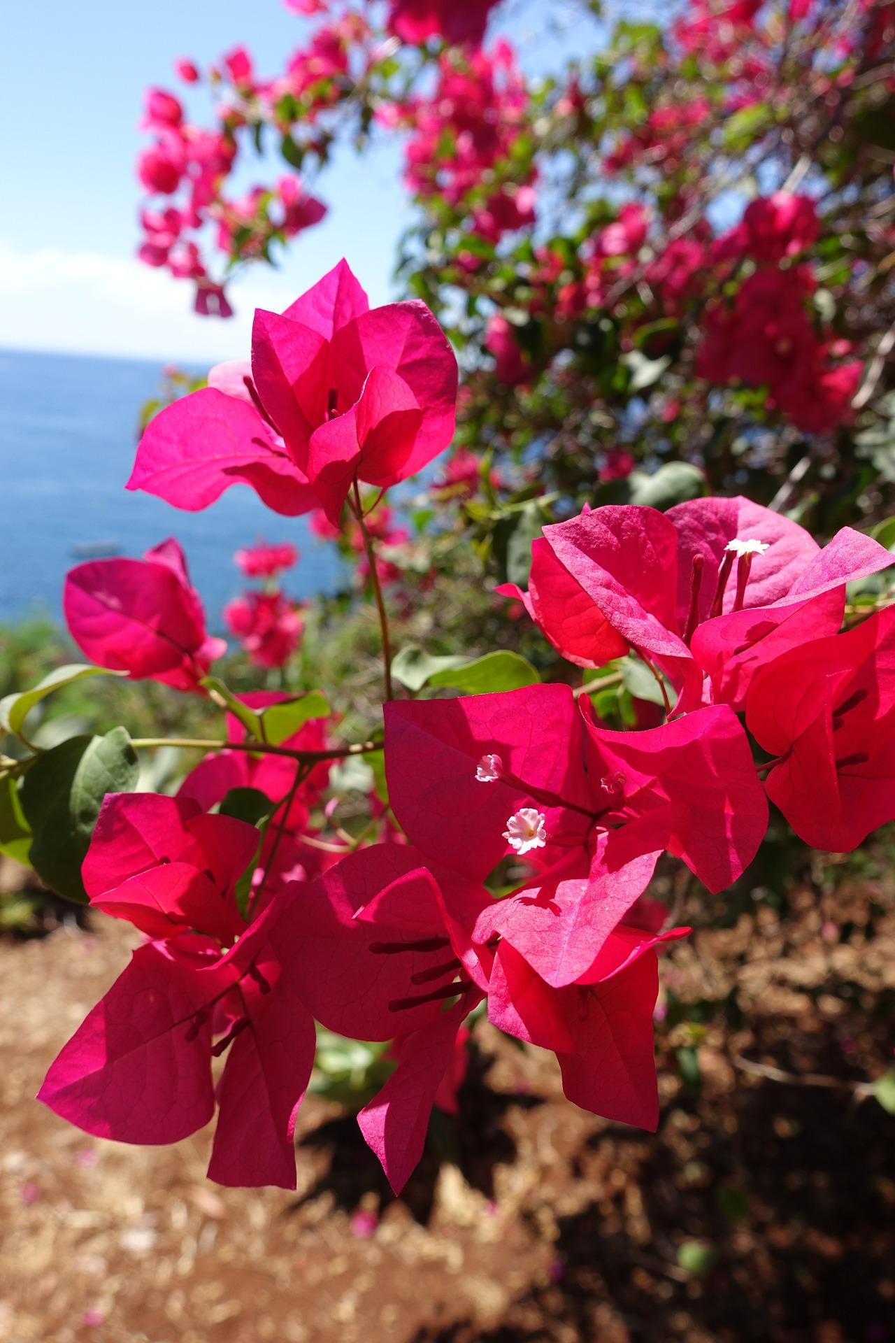 Blüten auf Madeira vor dem Meer