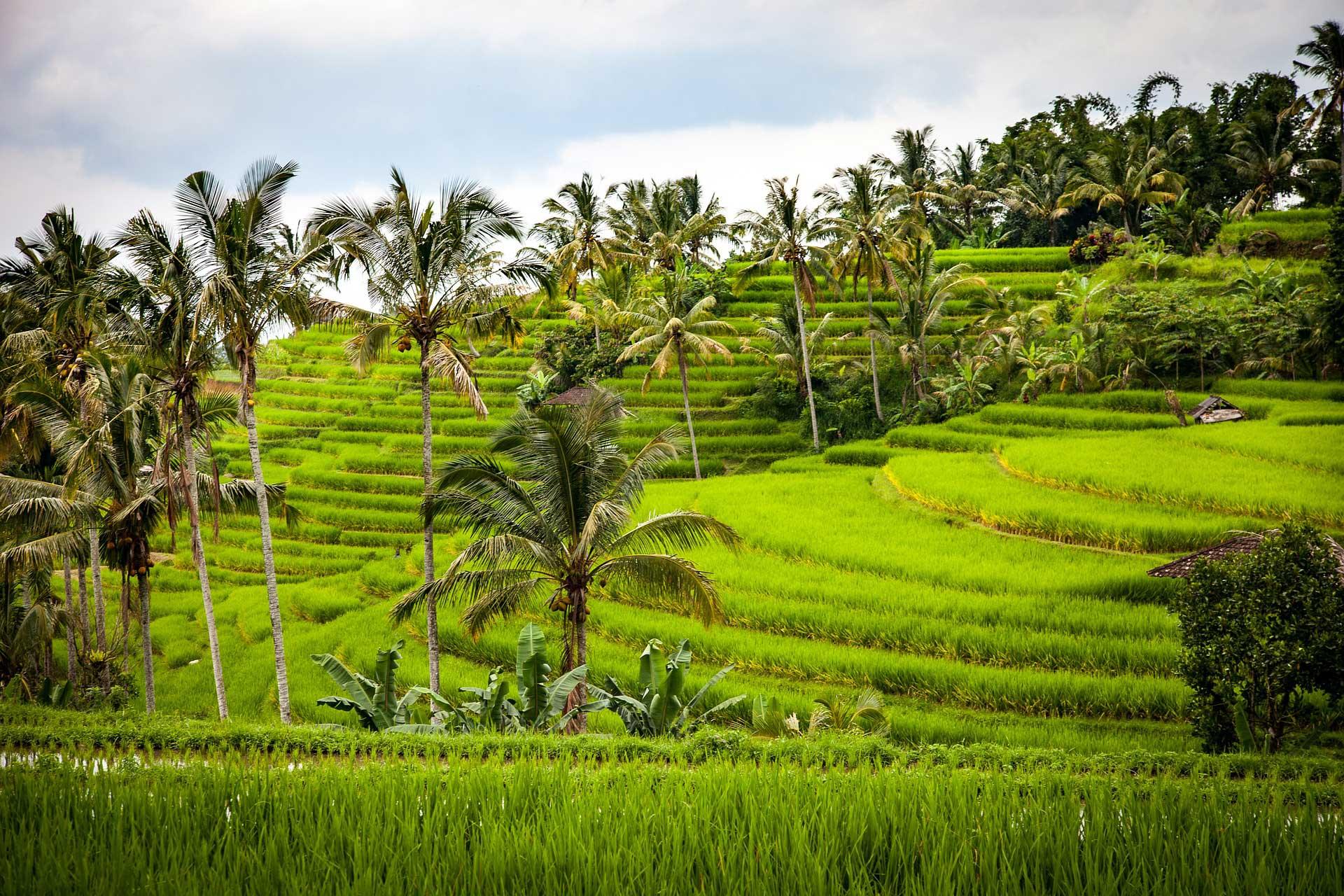 Reisfelder und Palmen auf Bali