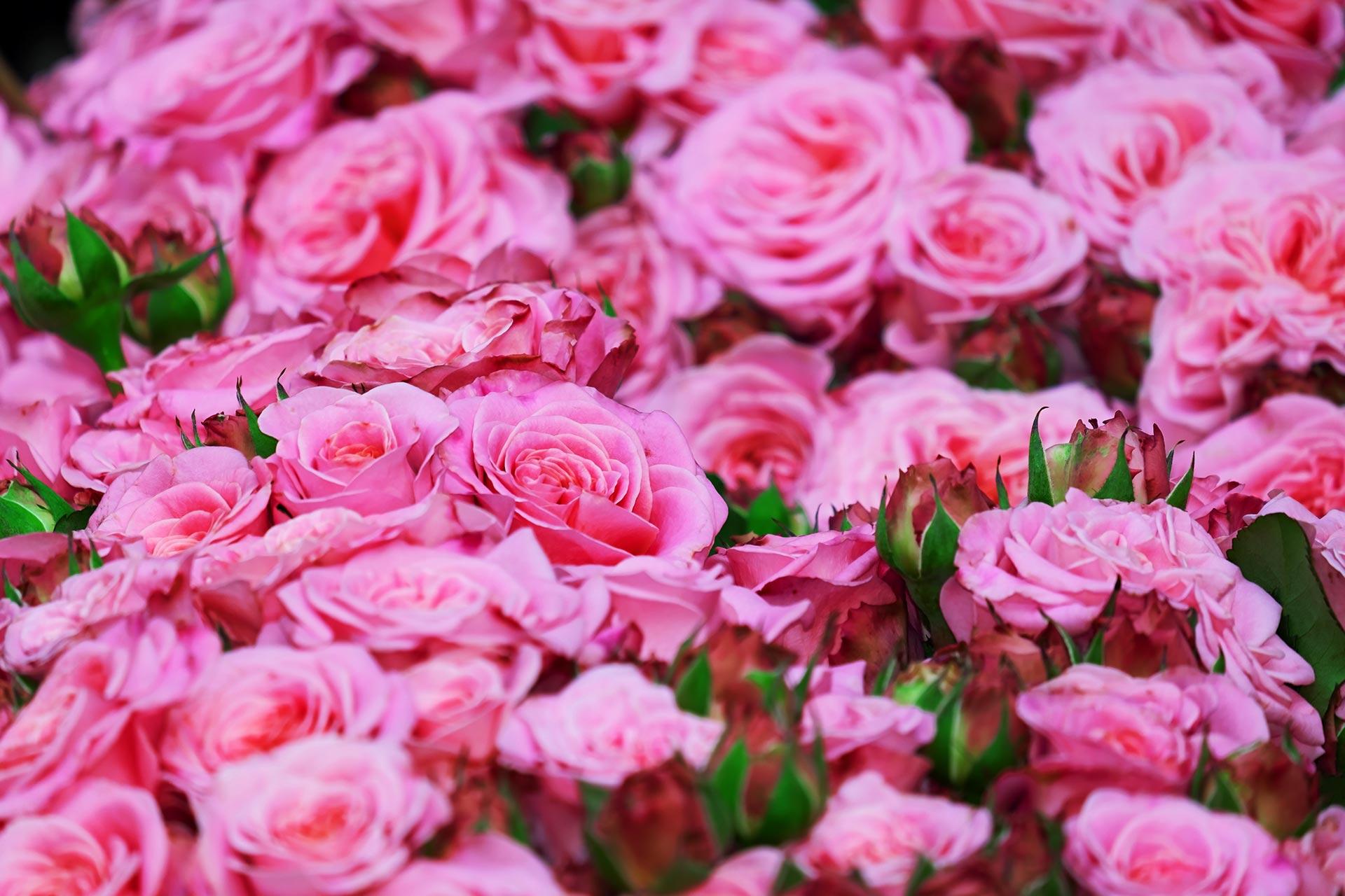 """Bulgarische Rosen-""""Rosa damascena"""""""